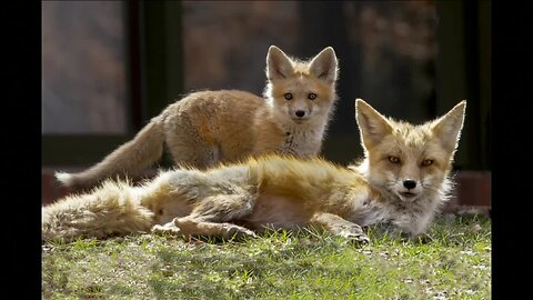 Cherry Hills Village doctor finds an escape by photographing local fox family
