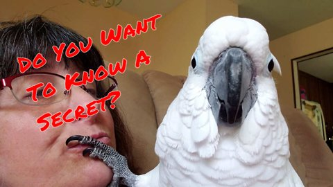 Did you know that cockatoos can whisper?