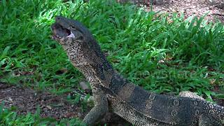 Monitor lizard devours freshwater turtle - Video