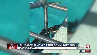 Alligator removed from community pool in Collier County - Video