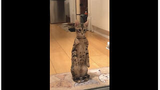 Cat Pulls Off Flawless Impression Channeling Her Inner Meerkat - Video
