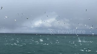 Northern gannets plunge into Icelandic waters during feeding frenzy - Video