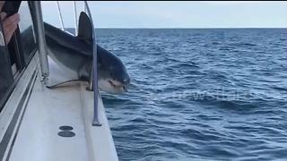 Huge shark jumps on fishing boat and gets stuck - Video