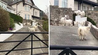 You goat-a be kidding me! Victorian seaside town under siege from goat herd - Video
