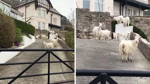 You goat-a be kidding me! Victorian seaside town under siege from goat herd