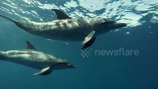 Free diver captures 'beautiful encounter' with playful dolphins - Video