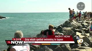 Gray whale spotted swimming in lagoon - Video