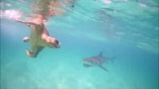 Turtle loses fight against shark