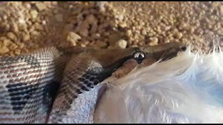 SOUTH AFRICA - Johannesburg - Snake feeding time (Video) (mzq)