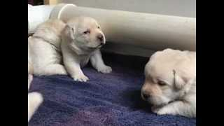 3-Week-Old Labrador Puppies Learn to Howl - Video