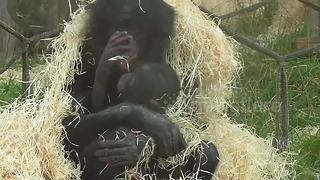 Bonobo mother and baby cuddle up in the rain - Video