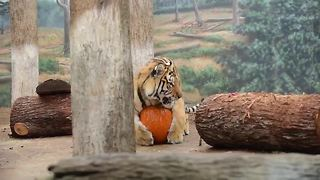 MKE Zoo tigers get in Halloween spirit - Video