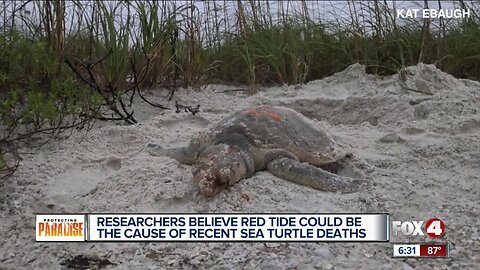 Researchers say red tide could be the cause of recent sea turtle deaths