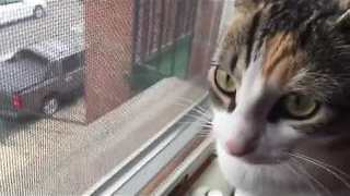 Cat Makes Strange Noises While Watching Birds - Video