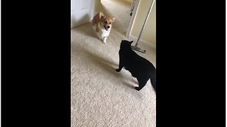 Cat Is No Match For Overly Excited Corgi Puppy