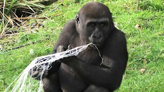 "Gorilla youngster shows off his new favorite ""toy"""