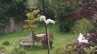 Ultra rare white squirrel filmed spotted pinching peanuts from garden bird feeder