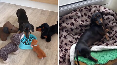 SPOT THE DOG ONE OUT! POOCH-OBSESSED COUPLE SHOWERED WITH SAUSAGE DOG THEMED GIFTS LINE THEM UP FOR ADORABLE 'FAMILY' PICTURE WITH REAL FURRY FRIEND