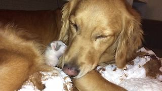 Newborn Kitten And Golden Retriever Love Each Other From First Lick