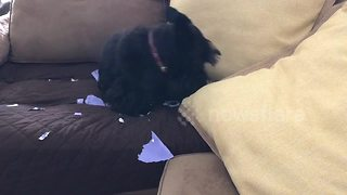 Don't look at me! Guilty Scottie dog hides behind a pillow after being caught