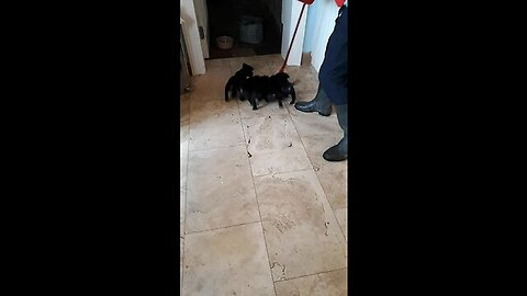 Litter Of Puppies Help Clean Kitchen Floor
