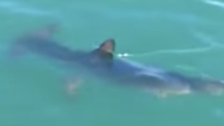 Rare Sighting of a Shark in Lake Macquarie - Video