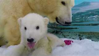 Polar Bear Cub Takes Her First Steps Beyond the Den - Video