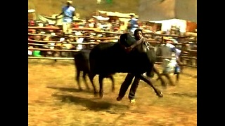 Men Risk Lives Wrestling Bulls - Video