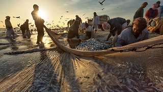 Fishermen Catch Thousands Of Sardines During Migration - Video