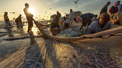Fishermen Catch Thousands Of Sardines During Migration
