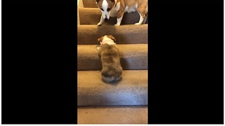 Two Adorable Pups Engage In Play Mode While Climbing The Stairs - Video