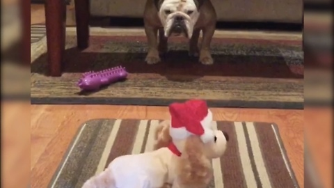 Bulldog has hysterical reaction to anything Christmas
