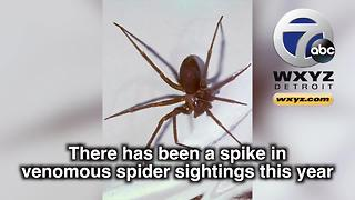 Spike in venomous brown recluse spider sightings reported in Michigan - Video