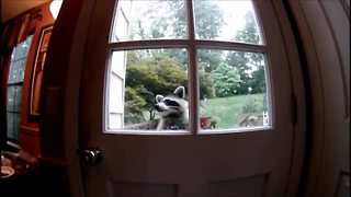 Raccoon attempts to break into empty home