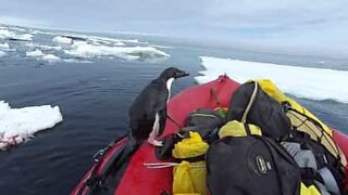 Penguin jumps into boat to say hi!