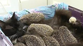 Cat Nurses Baby Hedgehogs - Video