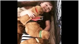 Little Girl Covered With A Cozy Blanket Of Dozen Golden Retriever Puppies - Video
