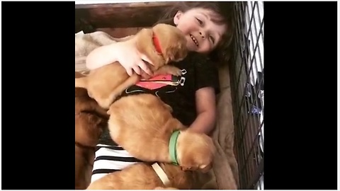 Little Girl Covered With A Cozy Blanket Of Dozen Golden Retriever Puppies