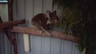 Recovering Koala Learns to Walk Again - Video