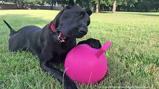 Happy Great Dane Loves to Play With Jolly Ball Horse Toy  - Video