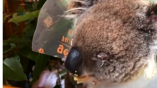 Blinded Koala on the Mend After Eye Surgery - Video