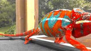 Colorful Chameleon Moves in Slow Motion - Video