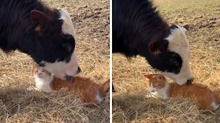 Incredibly close friendship between cat and cow