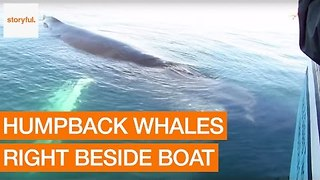 Tourists Get Amazing View of Humpback Whale - Video