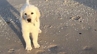 Cute golden Retriever Puppies first time swimming at the beach  - Video