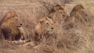 Rare sighting of five male lions spotted together in Kruger National Park - Video