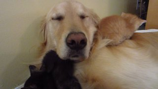 Three tiny foster kittens cuddle with Golden Retriever