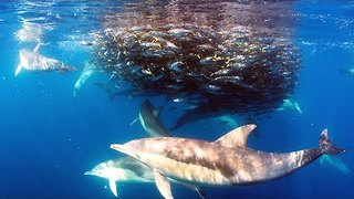 Dolphins Feed on Seal Bait Ball Off the Coast of Sydney - Video