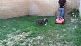 Dog Defends Yard From Lawnmower - Video
