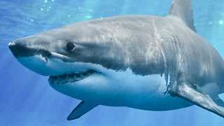 Why Great White Sharks Are A Total Mystery - Video